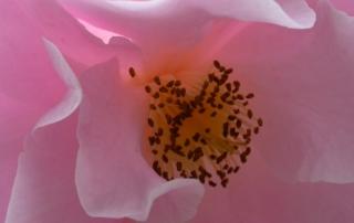 sc_flower